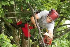 Baumpflegerische Maßnahmen mittels seilunterstützter Baumklettertechnik.